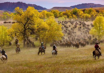 Buffalo Roundup, horse, bison, buffalo, cowboy, South Dakota
