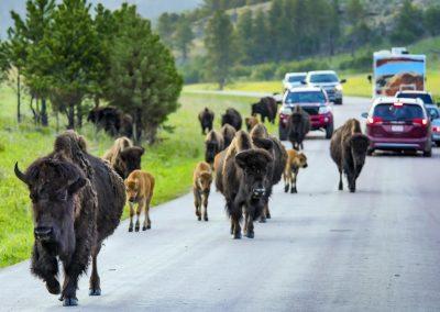 Wildlife Loop Custer State Park