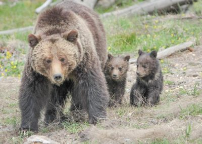 grizzly-sow-and-cubs-near-roaring-mountain_32060830354_o
