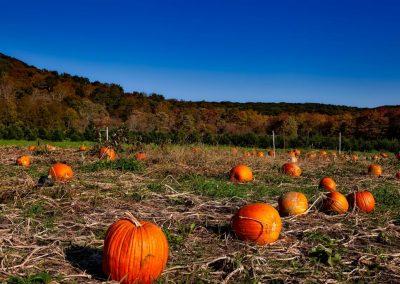 pumpkin-patch-1599169_1920