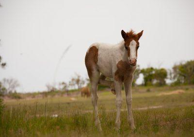 Virginia-Chincoteague-Island-Wild-Pony